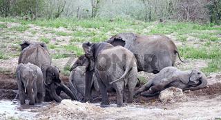 Elefantenherde im Matschbad, Etosha, Namibia; african elephants, Loxodonta africana