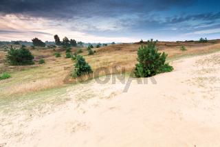 little pine trees on sand dune at sunrise