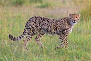 a beautiful young cheetah hunting at the masai mara national park