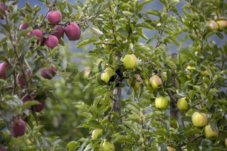 Green and Red Apples in a Garden
