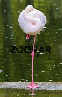 Rosa Flamingo steht auf einem Bein und steckt Kopf ins Gefieder