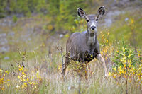 Mule Deer Doe standing in forest clearing,alert