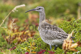 Whimbrel standing in the tundra autumn overcast day