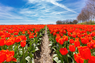 Field of red tulips flowers with blue sky in holland