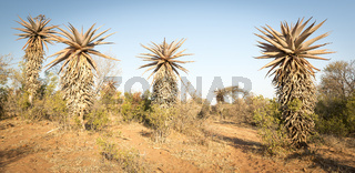 Aloe Vera Trees Botswana Africa