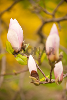 Pink Magnolia buds grow