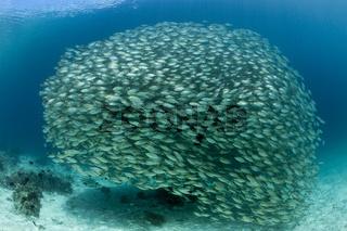 Schwarm Ochsenaugen-Makrelen, Salomonen