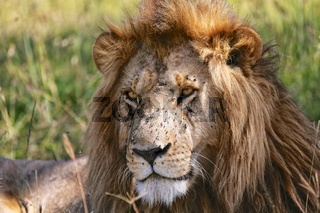 portrait of a beautiful lion at the masai mara national park