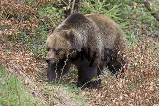 Braunbaer, Brown Bear,
