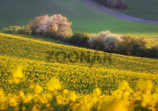 Beautiful yellow rapeseed fields with blooming trees at sunset. South Moravia