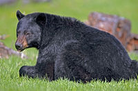 Big Black Bear male, laying in spring meadow