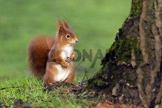 Red Squirrel, Eichhoernchen