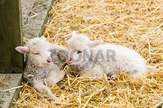 Two Little lamb sleeping in straw