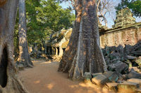 Giant trees and the ruin of Ta Prohm temple
