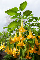 Brugmansia called Angels Trumpets or Datura