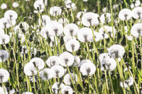 Beautiful white dandelion flowers on a field - floral background