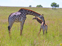 Female Giraffe in Africa with a calf.