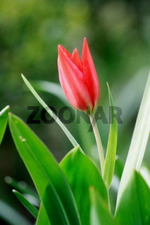 Tulpe mit zarter roter Blüte