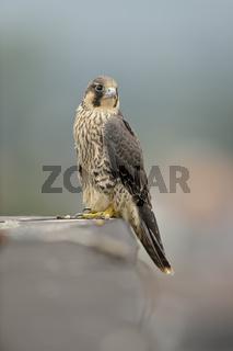 hoch über den Dächern der Stadt... Wanderfalke *Falco peregrinus*