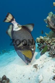 Gruener Riesendrueckerfisch, Australien