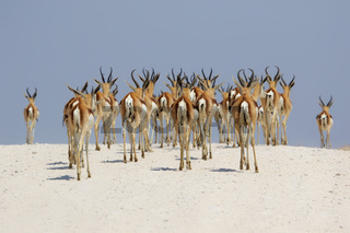 springboks at etosha national park