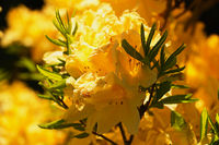 yellow flower Rhododendron