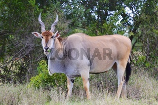 massive cape eland at addo elephant national park