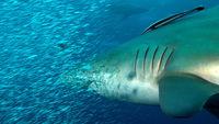 Shark fast attack