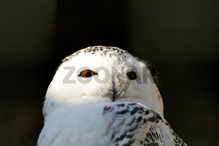 smart snowy owl bird