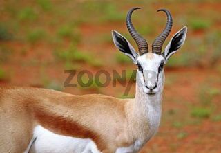 Springbock, Etosha, Namibia, Antidorcas marsupialis, Springbok
