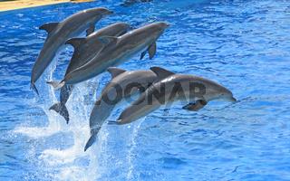 Grosser Tuemmler, Delphin, Delfin, Marineland