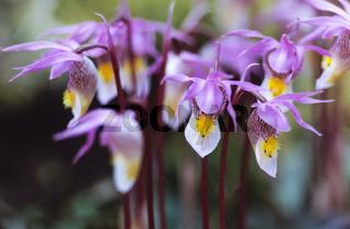 Norne zaehlt in Europa zu den groessten Orchideen-Raritaeten / Calypso Orchid is endangered in Sweden and Finland - (Fairy Slipper - Venuss Slipper) / Calypso bulbosa