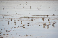 Sanderlings feeding on shore