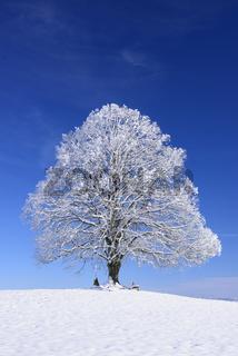 Große Linde als Einzelbaum im Winter
