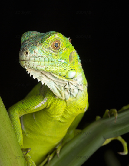 Green Iguana Portrait