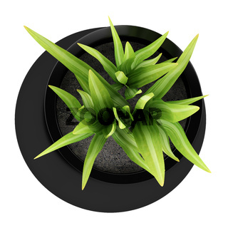 top view of houseplant in black vase isolated on white background
