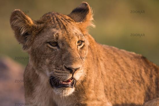 Panthera leo,lion,Loewe,,cub