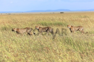 cheetah family hunting at masai mara national park kenya