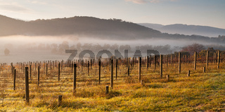 Vineyard In The Morning