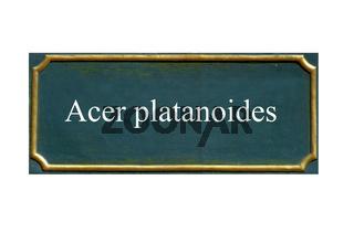schild Acer platanoides, Spitzahorn