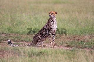 a beautiful cheetah at the masai mara national park