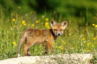 little european fox near the den ( Vulpes vulpes )