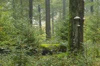 Alter bemooster Baum, Deutschland