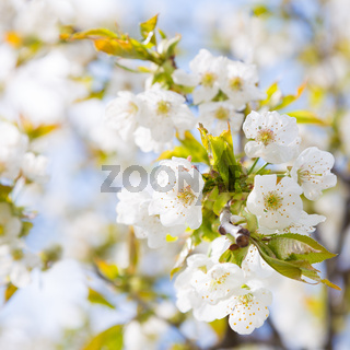 Blooming branch of the fruit tree