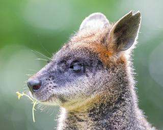 Kangaroo: Wallaby close-up portrait
