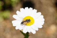 Bee on white marguerite
