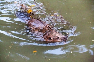 a beaver at the bavarian forest national park germany