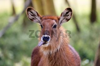 waterbuck pulling his tong out at samburu kenya