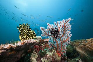 Riff mit Federstern, Indonesien