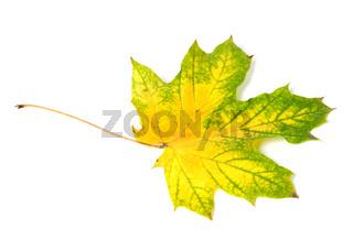Yellowed multicolor autumn maple-leaf